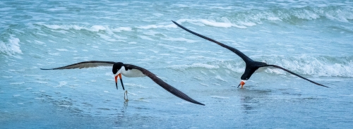 Black Skimmer Rejects Weed