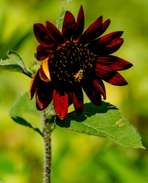GDSC_7112_Red_SunFlower