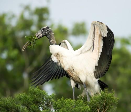 G - Nesting Woodstork