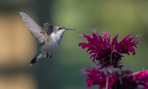 G - She is a Ruby Throated Hummer